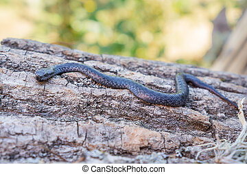 Side view of Viper snake baby over trunk, Vipera latastei - ...