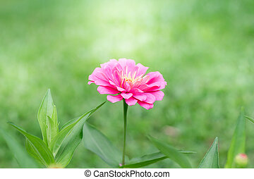 Side view pink Zinnia violacea on blur background texture