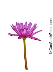 side view purple lotus isolated on white background.