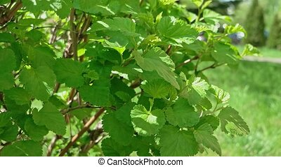 Side view Tilia Platyphyllos Herbal Medicine Plant Close Up.