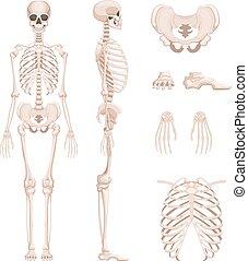 sides., différent, squelette, crâne, humain, illustration, bras, vecteur, legs., os