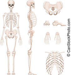 sides., olik, skelett, kranium, mänsklig, illustration, vapen, vektor, legs., knotor