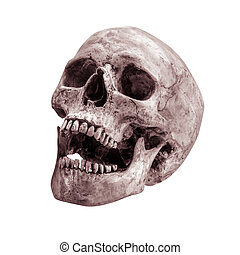 sidetview human skull open mouth isolated - sideview of...