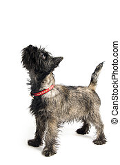 a terrier standing in studio isolated on white