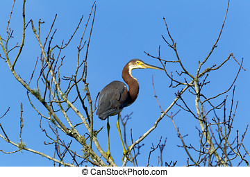 Sideview of tri colored heron. - A tri colored heron is...