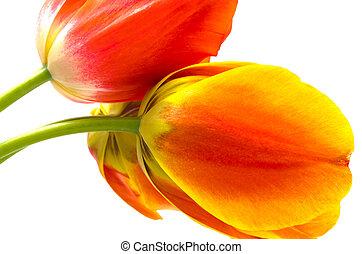 Sideways gradient warm color tulip