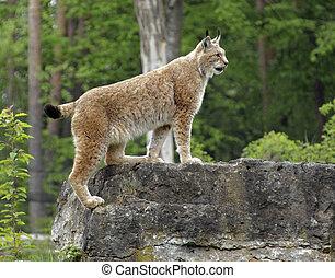 Eurasian Lynx - sideways shot of a Eurasian Lynx standing on...