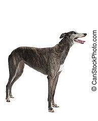 sideways standing greyhound - A greyhound standing sideways...