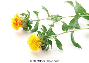 Sideways two safflower flowers on a white background