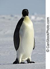 sie, pinguin, aufpassen