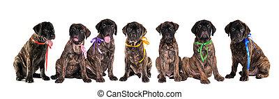 sieben, hundebabys, von, bullmastiff, vor, der, weißer hintergrund