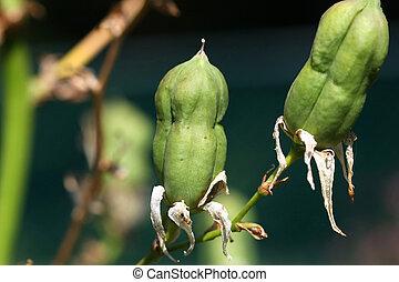 siembre semillas, yuca, vaina