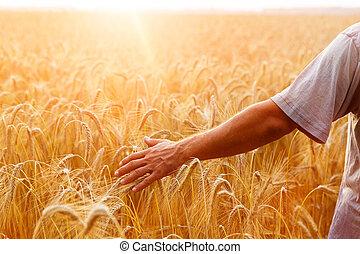 sien, blé, téléspectateur, light., main postérieure, champ, pointes, coucher soleil, touché, homme