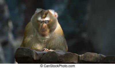 sien, macaque, apprécier, encas, habitat, cochon, filé