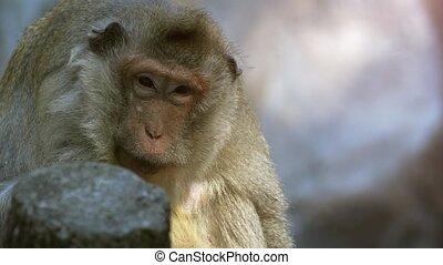 sien, manger, macaque, habitat, naturel, crabe, sauvage