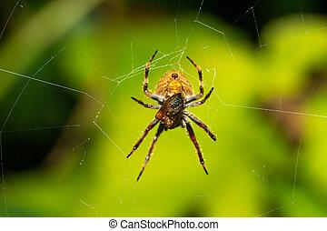 sien, rainforest, toile, araignés