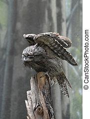 sien, surprenant, oiseau, frogmouth, prolongé, ailes