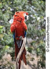 sien, timide, macaw, tourné, tête, écarlate