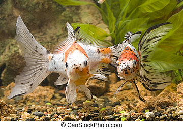 Sight of Goldfish - Two Goldfishes in the aquarium