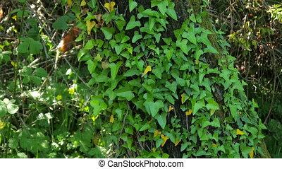 """sigla tree, alternative medicine, anxiety, bronchitis,..."