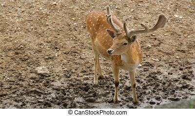 Sigle dappled deer in zoo