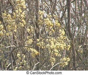 Sign of spring. Pussy-willow blooms - Blooming pussy-willow...