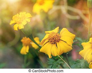 Signet marigold flower - Yellow flower of Signet marigold in...