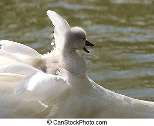 Signet riding in its mothers feathers