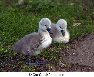 Signets - Two newly hatched signets