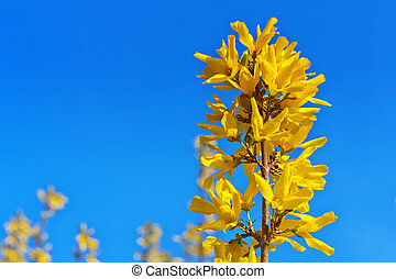 Signs of spring forsythia in the blue sky