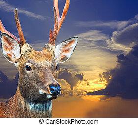 Sika deer against sunset sky - Head of Sika deer (Cervus...