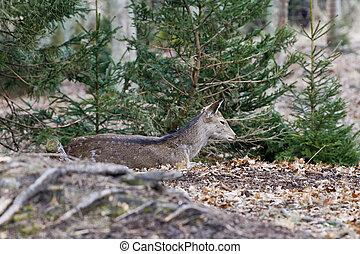Sika deer, (Cervus nippon), female, forest
