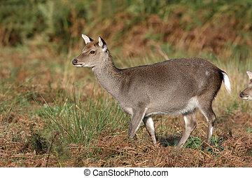 Sika deer, Cervus nippon,