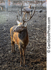 sika deer in a plant breeding in China - closeup of sika...