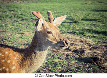 sika deer on pasture at summer