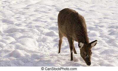 Sika deer on winter background - Female Sika deer sniffs...