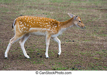 sika deer - emale of a sika deer