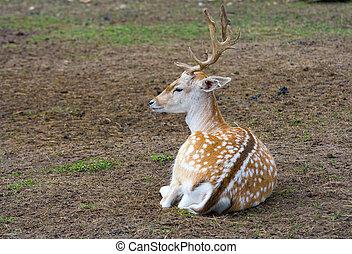 sika deer lies on the earth