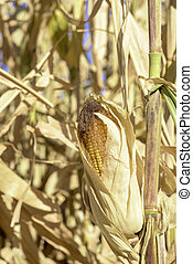 silage corn still in the field late fall