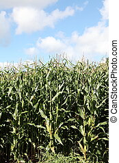 Silage Crop Maize Corn Biofuel - A full length view of...