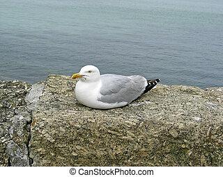 Larus argentatus, Herring Gull, Cornwall - Silbermöwe,...
