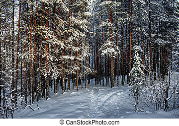 Silence in the coniferous forest. Winter landscape