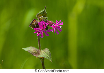 Silene Dioica flower in green nature