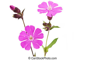 Silene dioica flower or red campionon on white background
