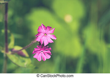 Silene Dioica flowers in violet colors