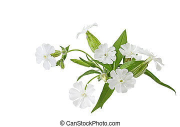 silene, latifolia, wildflower