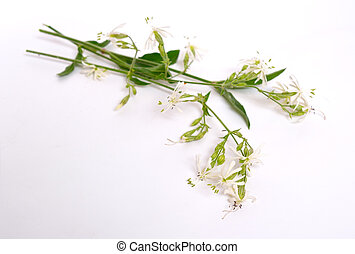 Silene nutans, most commonly known as Nottingham catchfly....