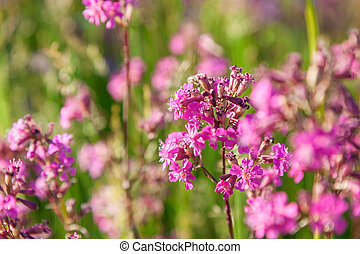 Silene viscaria, the sticky catchfly or clammy campion, is a...