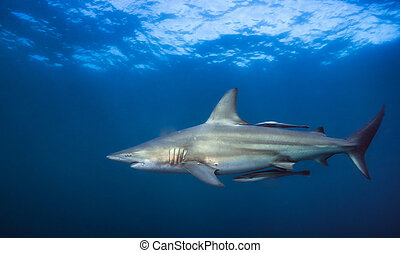 Silent predator. - white tip shark during dive in south ...