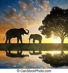 silhouette, éléphants